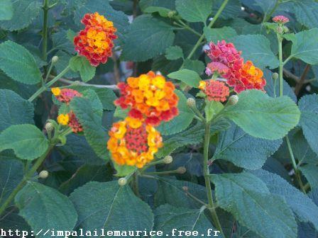 Assez Fleur Ile Maurice PE28